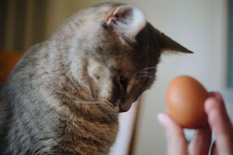 Kediye Çiğ Yumurta Sarısı Verilir Mi